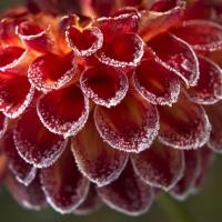 Dahlia Gardens - 1st Place - Bill Meyer - Jowey Joshua Experiences First Frost