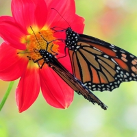 Kids & Critters - 3rd Place - Daniel Kavanagh - Monarchs on Seedling Dahlia