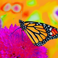 Digital Darkroom - 1st Place - Nancy Riopelle - Monarch on Frizzy Lizzy
