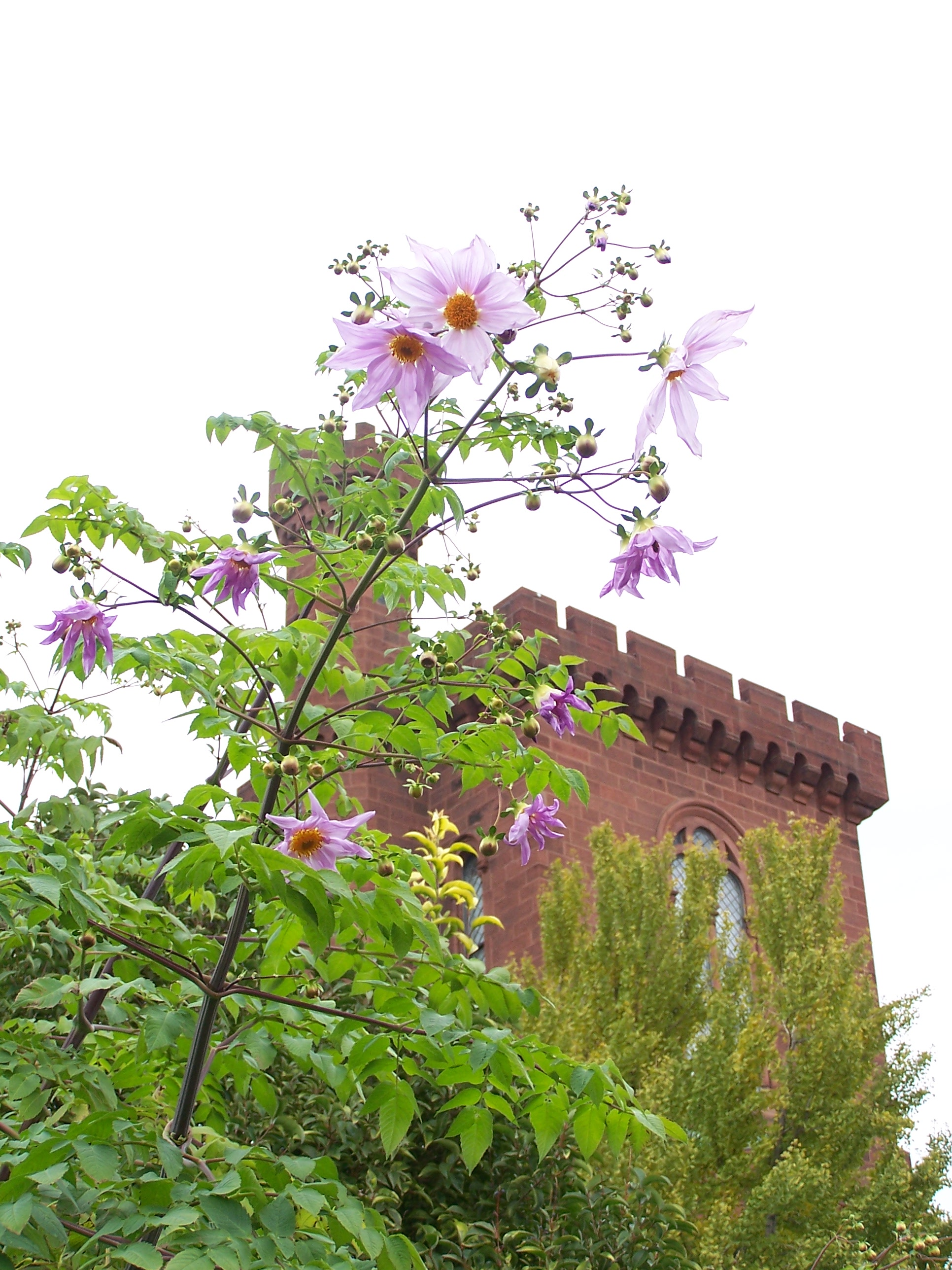 Dahlia Imperialis, NE Corner of Moongate Garden, behind the castle