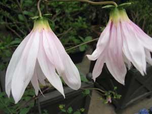 Dahlia Campanulata (Weeping Tree Dahlia)