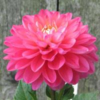 Pink Allegro
